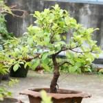 Jir bonsai BDB